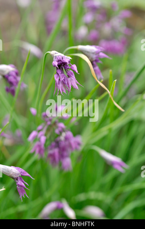 Ornamental onion (Allium cyathophorum var. farreri) - Stock Photo
