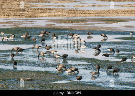 Brent Goose (Branta bernicla) feeding on mudflats, The Swale, North Kent Marshes, Kent, England, autumn. - Stock Photo