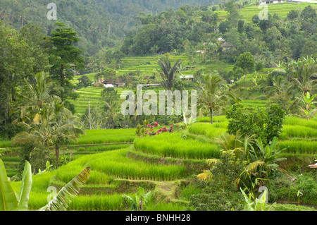 Bali Asia Indonesia travel Location Terrace Fields near Batukau Reserve rice fields agriculture paddy fields terraces - Stock Photo