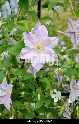 clematis tangutica 39 my angel 39 flowers stock photo royalty. Black Bedroom Furniture Sets. Home Design Ideas
