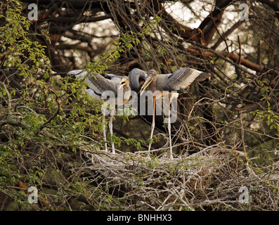 Juvenile Painted Storks waiting for food in there nest at New Delhi Zoo, India - Stock Photo