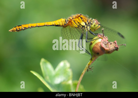 Common Darter (Sympetrum striolatum) dragonfly, Kent, England. - Stock Photo