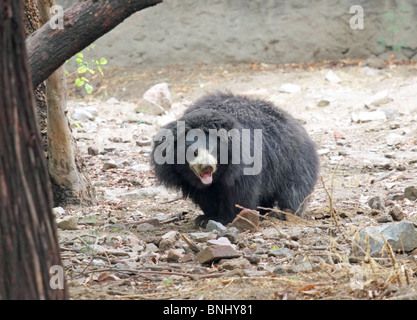 A Sloth Bear portrait shot taken in New Delhi Zoo, India - Stock Photo