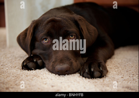 Chocolate brown Labrador  Retriever puppy dog looking at camera calm young pensive focused - Stock Photo
