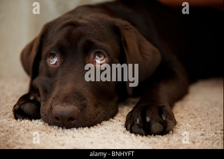 Labrador puppy dog with furrowed brow lying down chocolate brown naughty forgiveness begging beg - Stock Photo