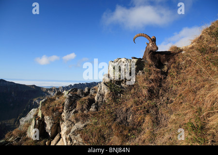Ibex Capra ibex Ibex Male Niederhorn Bernese Oberland Canton of Berne Bern Switzerland Alps Alpine Fauna Mountains - Stock Photo