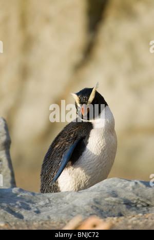 Fiordland Crested penguin Eudyptes pachyrhynchus - Stock Photo