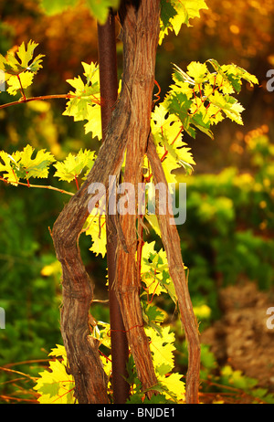 Grapevine in a garden on summer warm day - Stock Photo