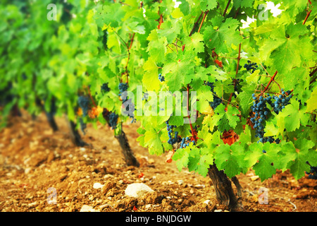 Field of a red sweet grape in a summer warm day - Stock Photo