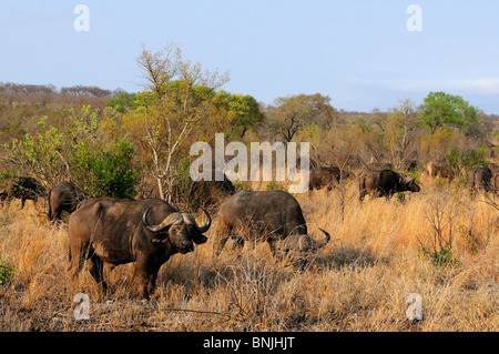 African Buffalo Syncerus caffer Ulusaba Sir Richard Branson's Private Game Reserve Sabi Sands Game Reserve Mpumalanga - Stock Photo