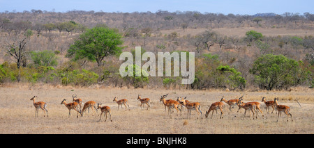 Panorama Herd of Impala Aepyceros melampus Ulusaba Sir Richard Branson's Private Game Reserve Sabi Sands Game Reserve - Stock Photo