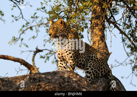 Leopard Panthera pardus Ulusaba Sir Richard Branson's Private Game Reserve Sabi Sands Game Reserve Mpumalanga South - Stock Photo