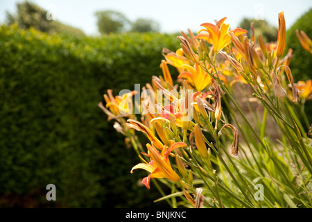 Orange lilies flowering in a herbaceous border in summer, Kent UK - Stock Photo