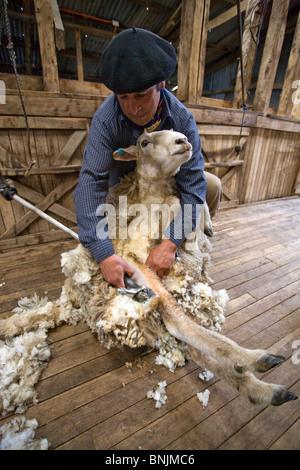 Chile South America March 2009 Chilean Patagonia Estancia Cerro Negro Gaucho gauchos man sheep shearing clipping - Stock Photo