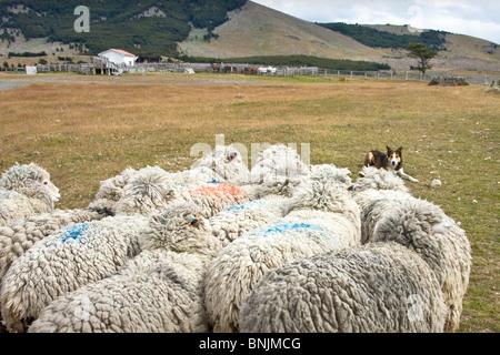 Chile South America March 2009 Chilean Patagonia Estancia Cerro Negro animals agriculture farming wool shepherd - Stock Photo