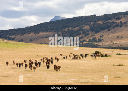 Chile South America March 2009 Chilean Patagonia cows cattle grassland mountains mountain landscape scenery agriculture - Stock Photo