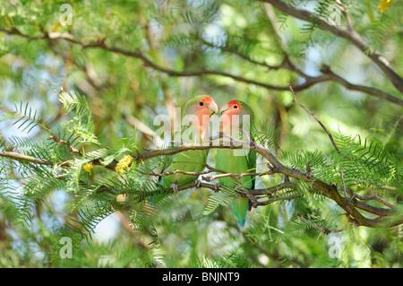 Rosy-faced Lovebird Agapornis roseicollis Bird Quiver Tree Restcamp Keetmanshoop Karas Region Namibia Africa Travel - Stock Photo