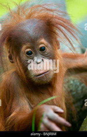 Cute baby Orangutan (Pongo pygmaeus) eye contact. - Stock Photo