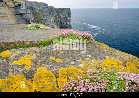 Thrift covered cliffs Armeria maritima Marwick Head RSPB reserve Mainland Orkney LA005227 - Stock Photo