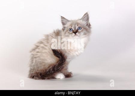 Neva Masquarade, kitten, 8 weeks / Siberian Forest Cat, Siberian Cat, Siberia, Neva Masquerade - Stock Photo