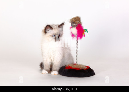 Neva Masquarade, kitten, 8 weeks / Siberian Forest Cat, Siberian Cat, Siberia, Neva Masquerade, toy - Stock Photo
