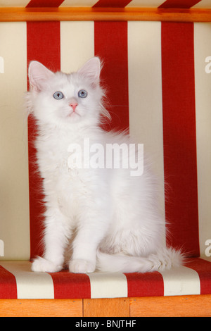 Siberian Forest Cat, kitten, 3 months, white / Siberian Cat, Siberia - Stock Photo