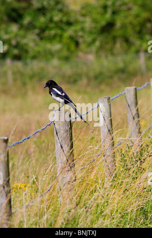Common Magpie (Pica pica) perched on fence post - Stock Photo