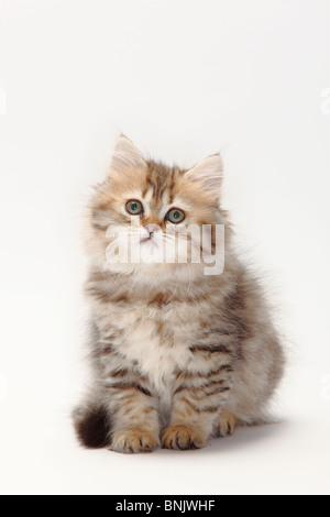 British Longhair Cat, kitten, 10 weeks, black-golden-mackerel / Highlander, Lowlander, Britanica - Stock Photo