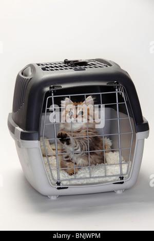 British Longhair Cat, kitten, 10 weeks, in kennel / Highlander, Lowlander, Britanica - Stock Photo
