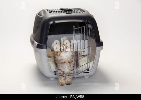 British Longhair Cat, kitten, 10 weeks, in open kennel / Highlander, Lowlander, Britanica - Stock Photo
