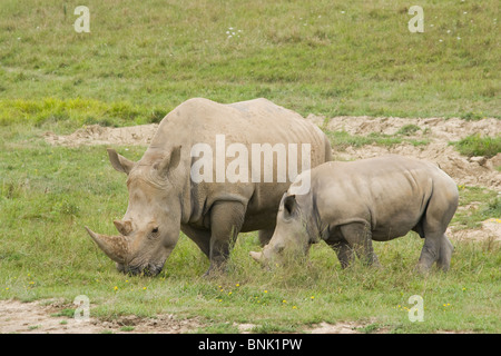Southern White Rhinoceros. Ceratotherium simum simum. Endangered Animal At The Wilds, Cumberland, Ohio, USA. - Stock Photo