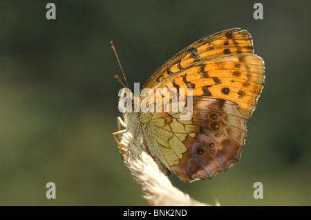 Marbled Fritillary (Brenthis daphne) - Stock Photo