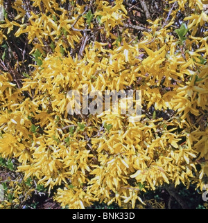 Close Up Photo of Forsythia x intermedia in full flower during May - Stock Photo