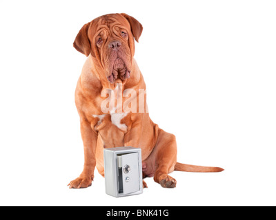 Guard dog looking guilty after a metal safe has been opened and stolen - Stock Photo