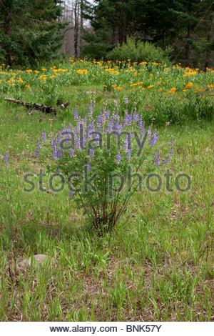 Lupine Lupinus species unknown Arizona - Stock Photo