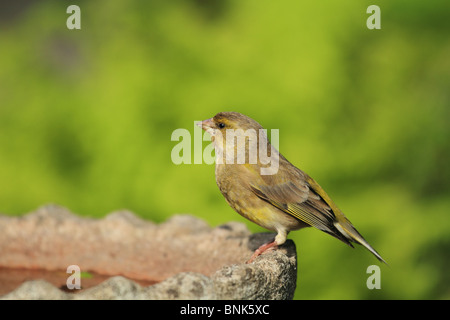 A newly fledged Greenfinch (Latin: Carduelis chloris) takes a rest on a bird bath. - Stock Photo