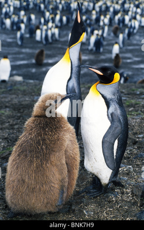 A family of King Penguins stay together in a penguin colony at St. Andrews Bay on South Georgia Island in the South - Stock Photo