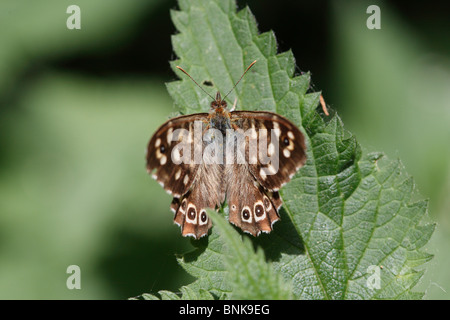 Speckled Wood butterfly on nettle leaf - Stock Photo
