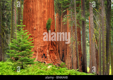 Sequoia and King Canyon National Park - Stock Photo