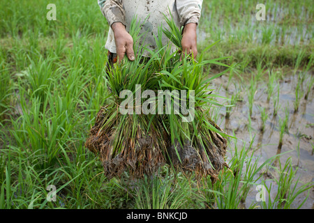 Female farmer holding two stalks of rice ready to be planted in a paddy field, East Java, Indonesia - Stock Photo