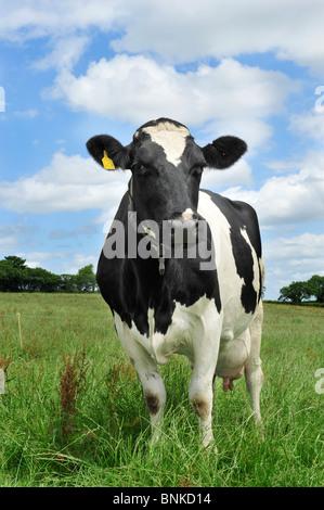 holstein cow in grass - Stock Photo