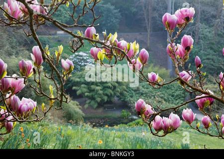 Trebah garden; magnolia tree in flower; Cornwall in spring - Stock Photo