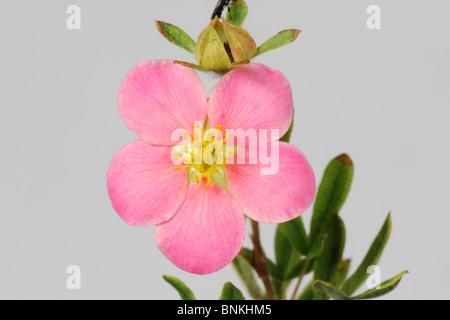Flower of a pink rock rose (Potentilla fruticosa) - Stock Photo