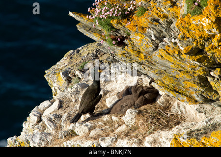 Shag on a cliff top nest - Stock Photo