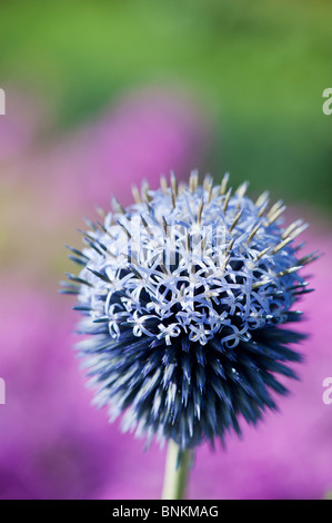 Echinops ritro veitch's blue. Globe thistle flower in an English garden against pink background - Stock Photo