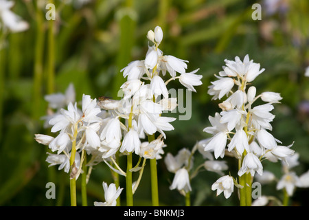 White Spanish Bluebells - Stock Photo