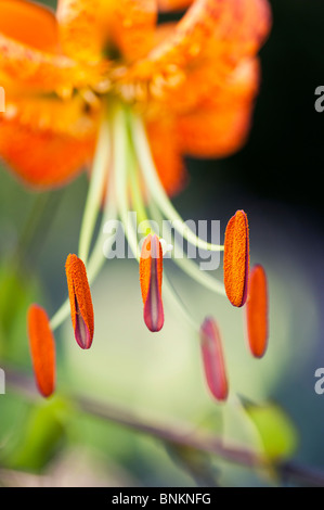 Lilium henryi. Tiger Lily / Henrys Lily flower. Detailing on stamen and anther with pollen - Stock Photo
