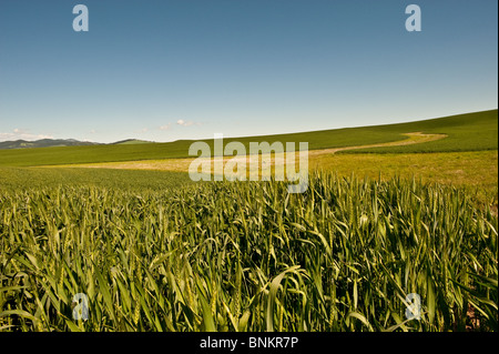 Green wheat field in Palouse, Washington - Stock Photo