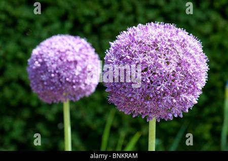 Allium Ambassador - Stock Photo