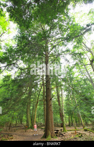 A hiker stops to admire a tall hemlock tree in Cathedral State Park, Brookside, West Virginia, USA